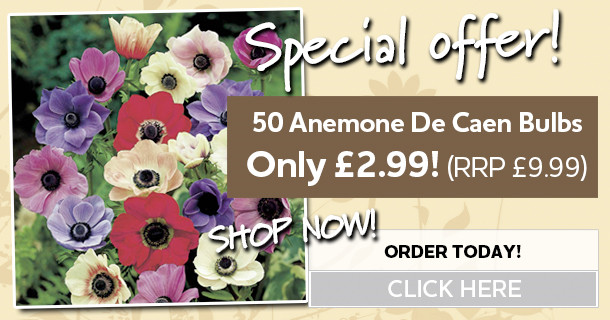 anemone de caen