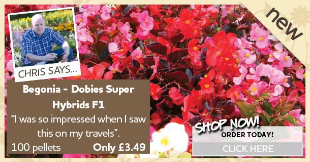 begonia seeds dobies super hyrbids f1