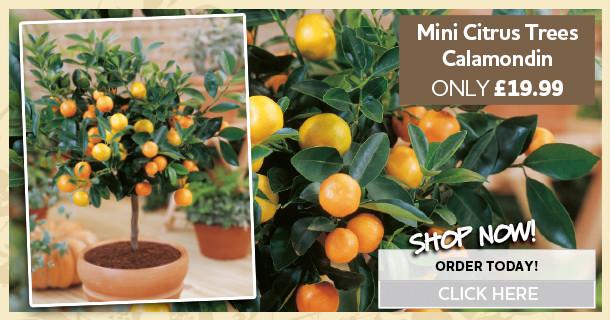 calamondin mini citrus trees