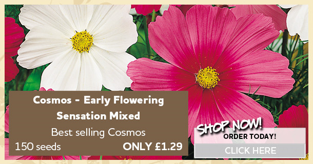 cosmos seeds early flowering sensation 420048