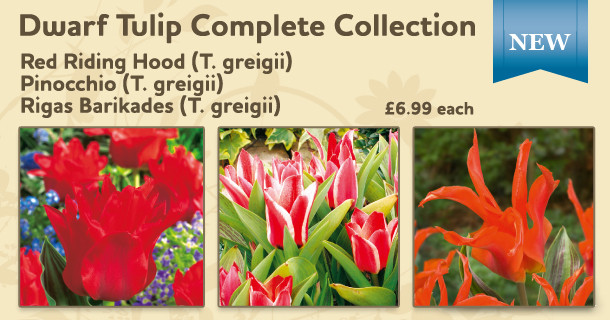the perfect dwarf tulip collection