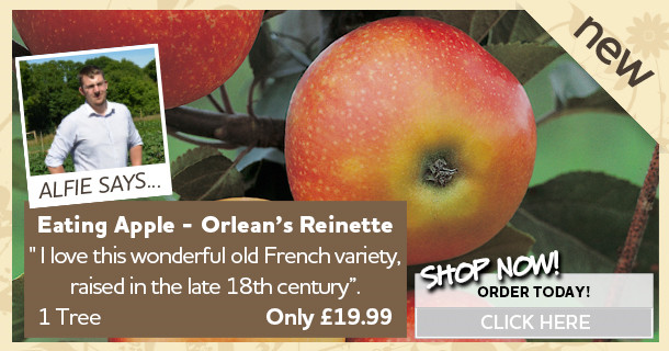 Apple Tree - Orlean's Reinette