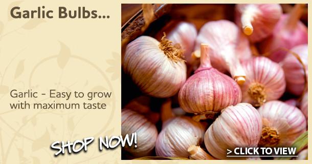 garlic bulbs