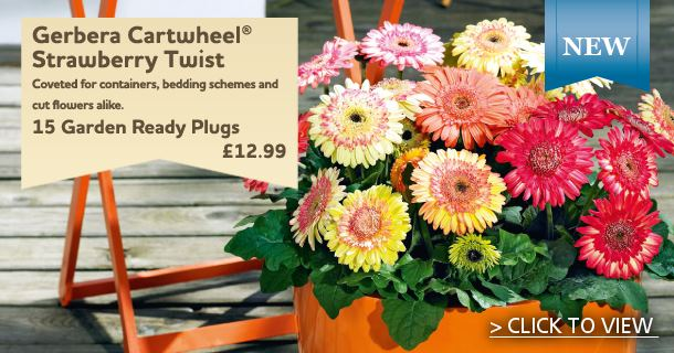 Gerbera Cartwheel Plants - Strawberry Twist