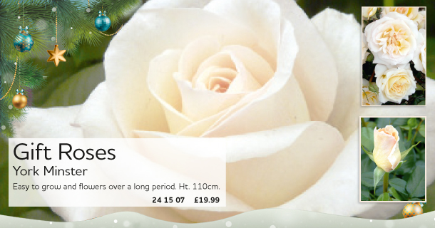 A White Rose - the perfect gift for Christmas - click for details