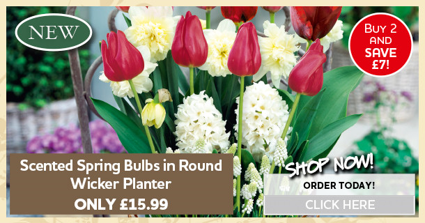 scented spring bulbs round wicker planter