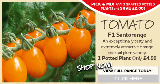 f1 santorange grafted potted tomato plants