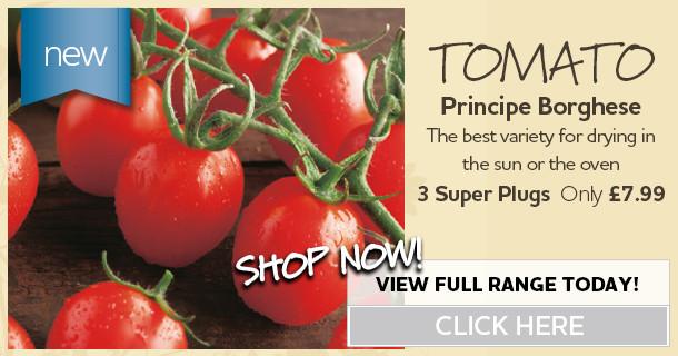 3x Tomato Super Plug Plants - Principe Borghese