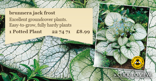 Brunnera Plants - click for details