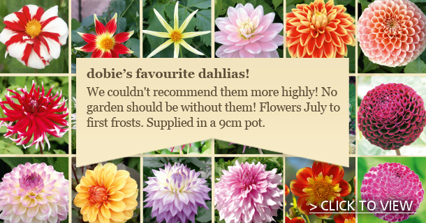 Favourite Dahlias! - click for details