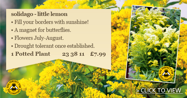 Perfect for your Borders and for pollinators the Solidago Little lemon - click for details