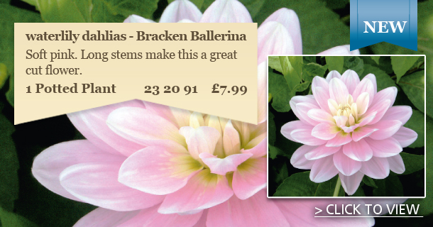 'Simply Stunning Waterlily Dahlia - Click for details
