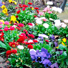 Autumn and Winter Bedding Plants
