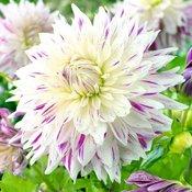 Flower Bulbs D to F