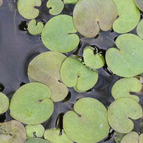 Floating Aquatic Plants