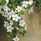 Flower Plants A to O