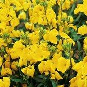 Flower Plants P to Z