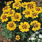 Flower Seed for Under £1.26