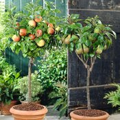 All Fruit Trees