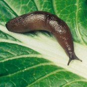 Slug and Snail Deterrents