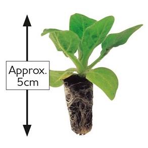 Plant Sizes
