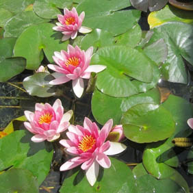 Water Lily Plants