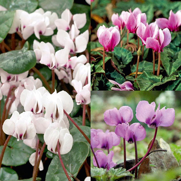 Cyclamen Bulbs - Collection