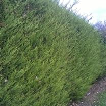 Cupressocyparis 'Castlewellan Gold' Potted Plants