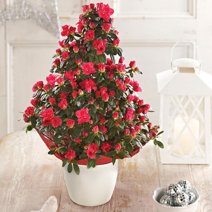Azalea Christmas Tree - Red