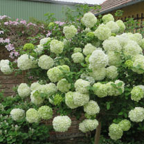 Viburnum macrocephalum Plant - Happy Fortuna