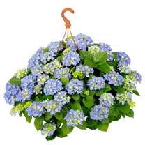 Hydrangea Plant - Blue Hanging Basket