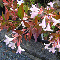 Abelia Plant - Grandiflora