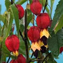Abutilon Plant - Megapotamicum