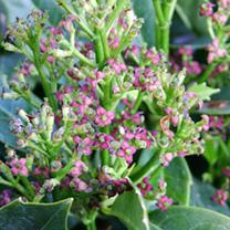 Aucuba japonica Plant - Rozannie