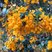 Berberis Plant - Darwinii