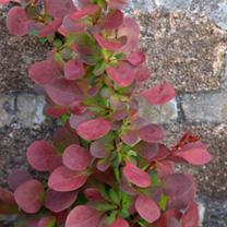 Berberis Plant - Thunbergii Atropurpurea