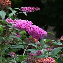 Buddleja davidii Plant - Pink Delight