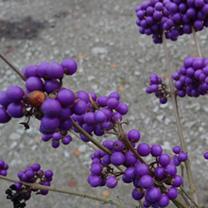 Callicarpa Plant - Bodinieri var Giraldii Profusion