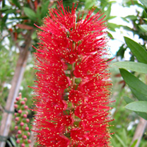 Callistemon Plant - Red Cluster
