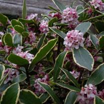 Daphne Plant - Odora Aureomarginata