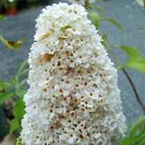 Buddleja davidii Plant - White Profusion