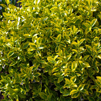 Euonymus Plant - Fortunei Emerald 'N' Gold