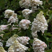 Hydrangea Plant - Paniculata Grandiflora