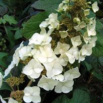 Hydrangea Plant - Quercifolia