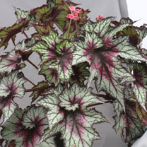 Begonia Plant - Red Tempest