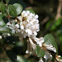 Osmanthus Plant - Delavayi