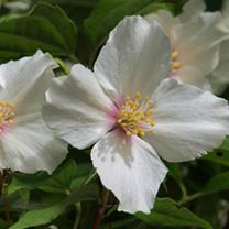 Philadelphus Plant - Belle Etoile