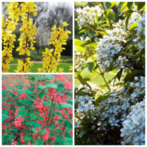 Spring Flowering Shrub Collection