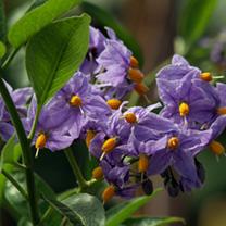 Solanum Plant - Crispum Glasnevin