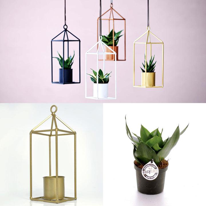Greenhouse Brass + Free 6cm Plant